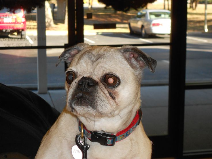 """Nikki is all about livin the """"pug life"""". pugsrule dogs"""