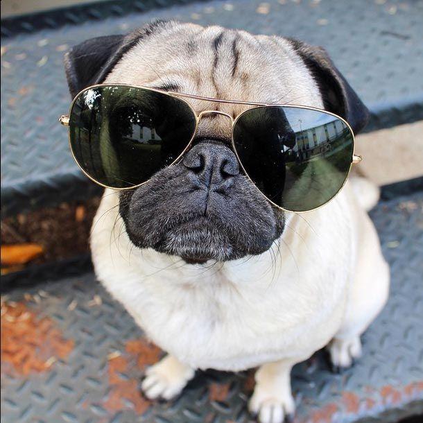 Have you met Doug the pug?