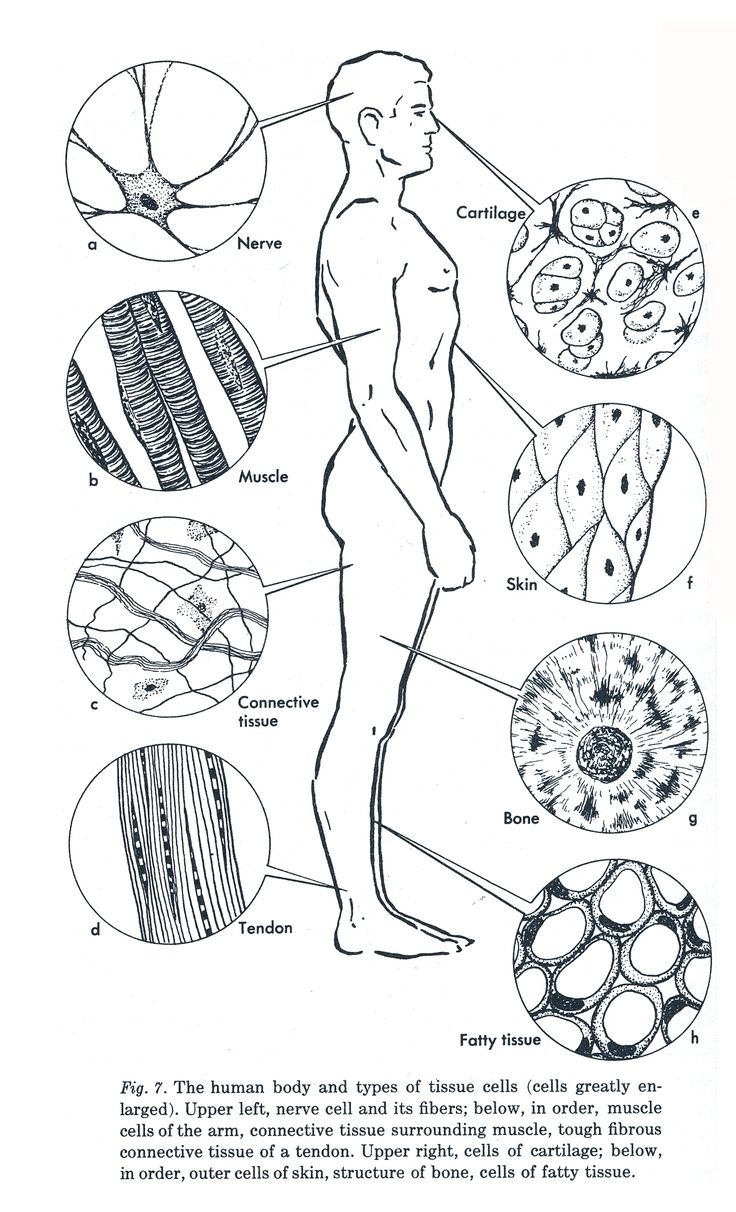 vintage anatomy diagram Loving the cell illustrations