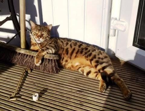 Simba A Beautiful Bengal Tom who had a bad habit of venturing into sheds and outbuildings. He failed to return home one evening and we recovered him a few days later covered in cobwebs