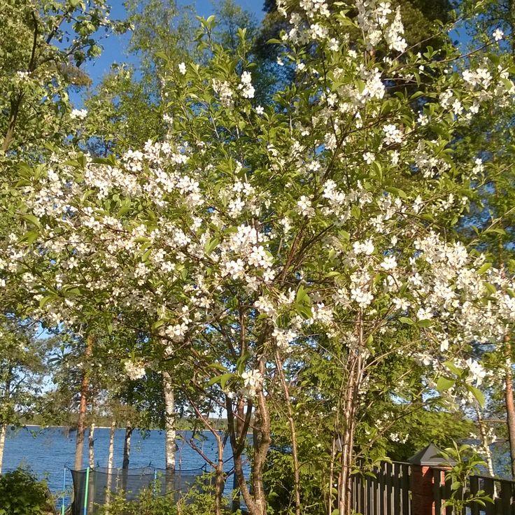 #omenapuu #kevät #luonto #piha #puutarha #Puruvesi  #Punkaharju #Suomi #houseforsale #Finland  #apple   #spring #garden