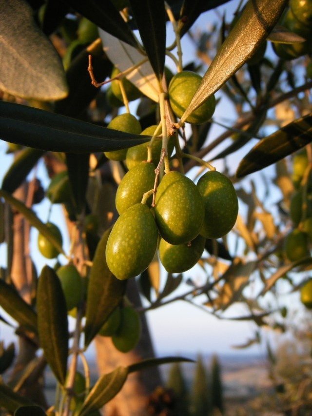 Olive tree, Calabria, Italy ~ My cousins used to climb these as a child growing up in Reggio Calabria!