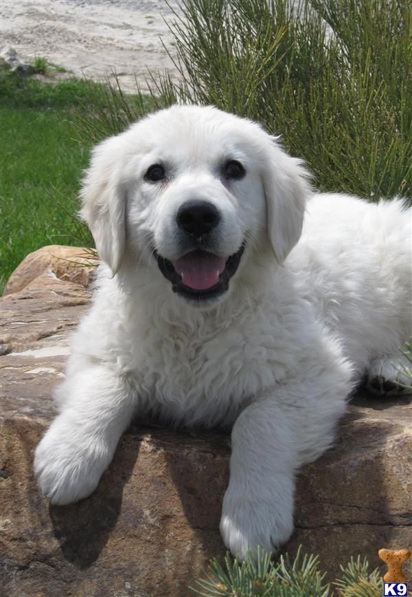 More About The Outgoing Golden Retriever Health Goldenretrieverpuppy Goldenretrievervideo Whitegoldenretrieve Golden Puppy Retriever Puppy Golden Retriever