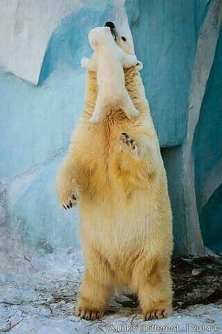 Baby polar bear climbing up Mother