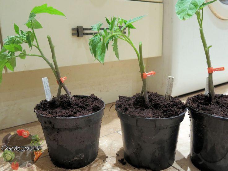 Кто-нибудь пробовал такой способ выращивания помидор? Хотелось бы узнать что получается в результате....   Один куст помидоров можно выращивать на двух корнях - и место экономится, и урожай будет обильнее. Таким образом можно получать с каждого куста до 50-60 хороших крупных помидор. Сорт при этом не имеет значения.    Для этого в одну емкость сажают семена близко друг от друга - на расстоянии не более 1 см.    Когда рассада подрастет и толщина стебля станет достаточно большой, острой…
