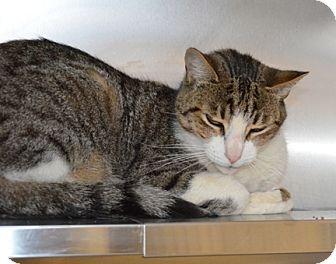 massachusetts cats and adoption on pinterest