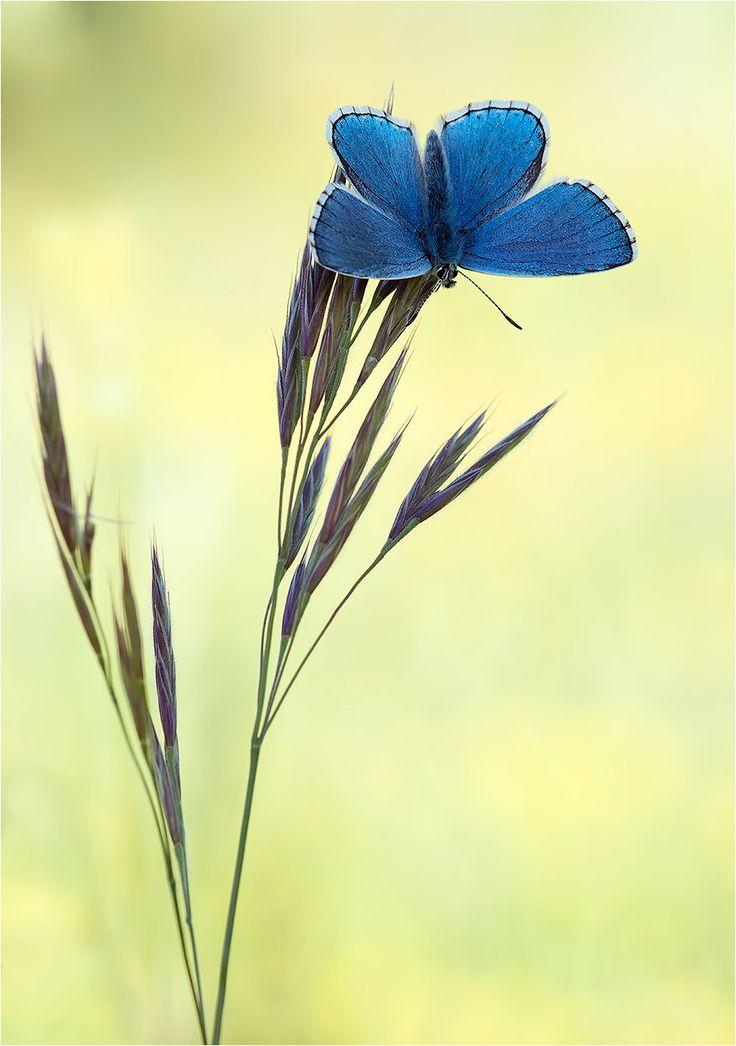 ~Polyommatus bellargus - Adonis Blue~