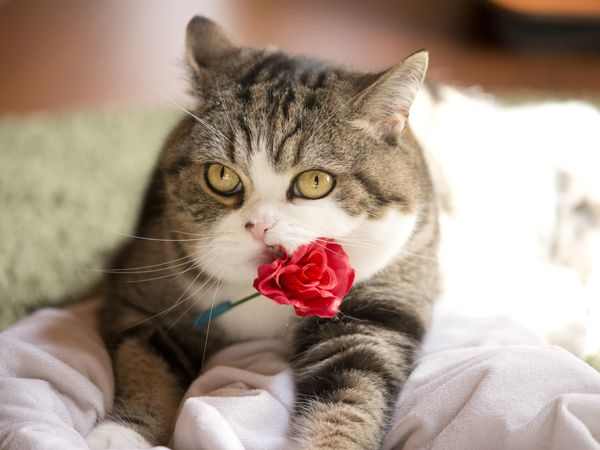 Maru with rose
