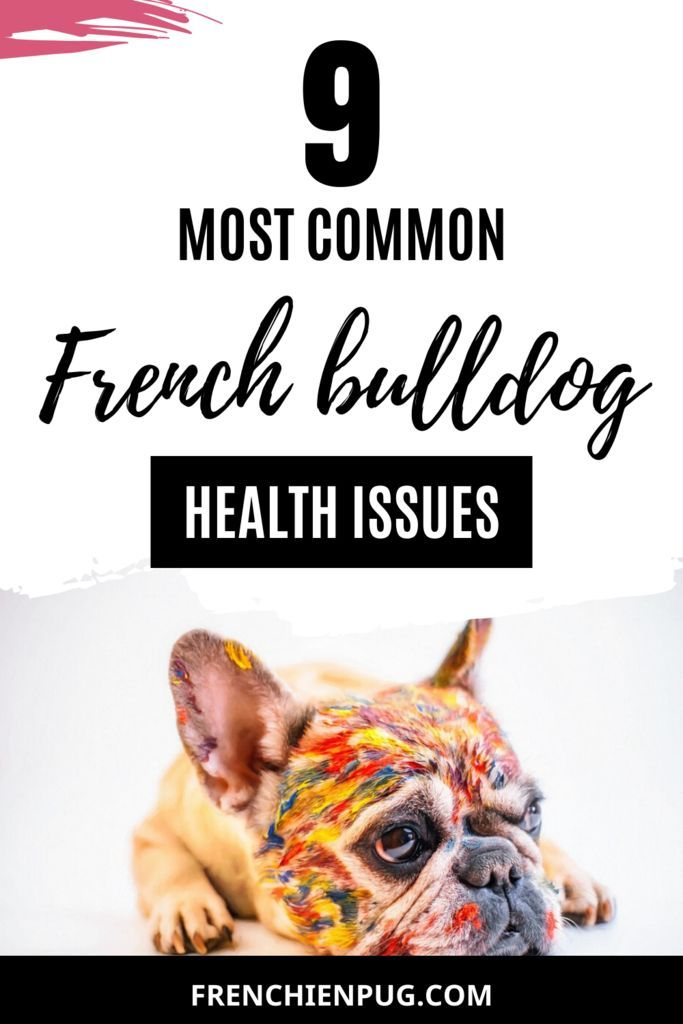 9 Most Common French Bulldog Health Issues French Bulldog