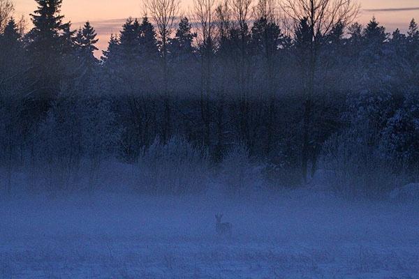 Roe deer, Småland, Sweden  www.emmajansson.se