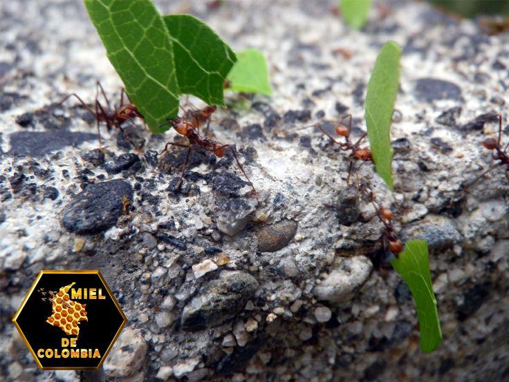 Proliferación Las hormigas cortadoras solo existen en América, desde Texas hasta la Patagonia. Con la llegada de la civilización europea estas especies se convirtieron en plaga, al eliminar sus predadores naturales por el desarrollo de grandes áreas de cultivo y pastizales, y esto también favoreció su proliferación.