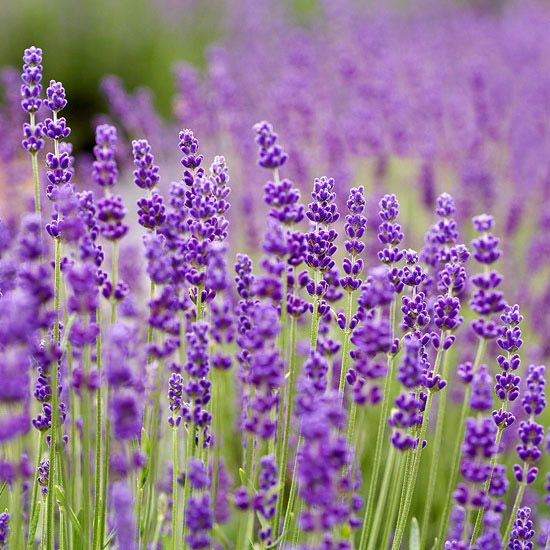 'Betty's Blue' English Lavender-This adaptable lavender stands out because of its habit: It grows in a decidedly rounded mound and produces large spikes of dark purple-blue flowers in late spring and early summer. 'Betty's Blue' is a compact variety that shines when grown as a small hedge or in a knot garden