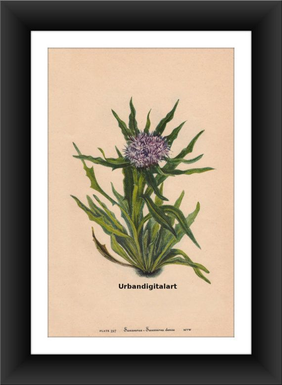 Saussurea-Downloadable Vintage  Art Print by UrbanDigitalArt