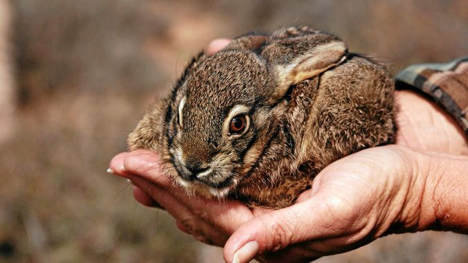 The Endangered Wildlife Trust's riverine rabbit project is trying to save this critically endangered animal. (Eric Herrmann)
