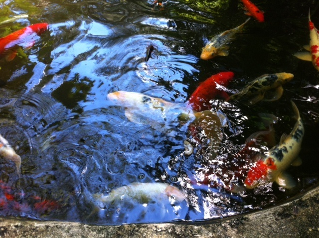 Koi pond at Marie Selby Botanical Gardens in Sarasota.  Selby Gardens has been an alliance member of the Sister Cities Association of Sarasota since 2002.