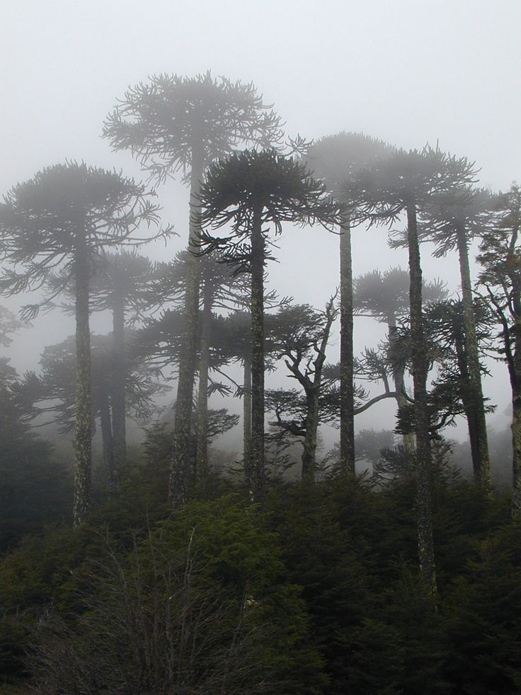 Araucarias en la niebla.