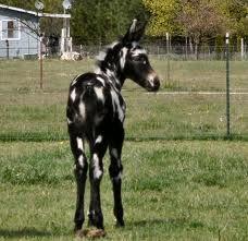 Colorful Mule Foal