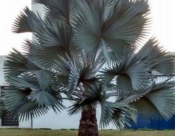 Bismark - Palmeiras Plantas - Mudas, Árvores, Frutíferas, Ornamentais, Palmeiras