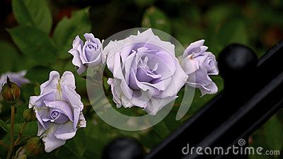 Closeup of lavender purple roses by a black iron fence.