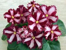 African Violet ~~ CHIMERA MALTIJSKIJ ORDEN ~~ plant  Russian / Ukrainian Variety