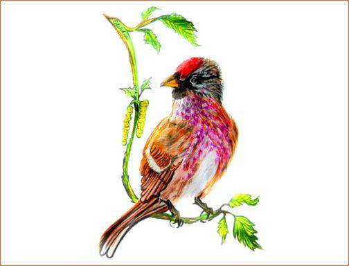 Rote Kappe auf dem Kopf, zartrosa das Brustgefieder - das Birkenzeisig-Männchen