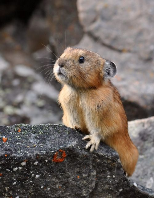 Northern Pika. . .a small, threatened,, burrowing animal native to Asia from the Ural Mountains to Japan.  Cute I think.