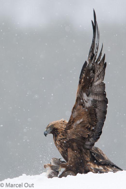 Steenarend (Golden Eagle). Kuusamo, Finland, maart 2014