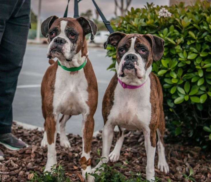 Boxer dog for Adoption in Oceanside, CA. ADN518080 on