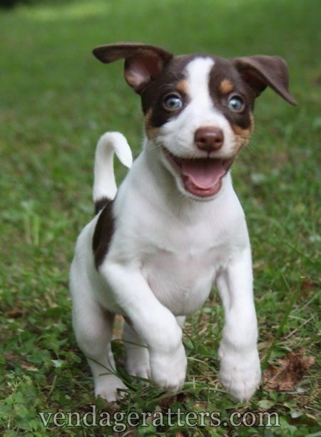 "Rat Terrier puppy, ""Pilot"" 6 weeks old  http://facebook.com/vendageratterriers  http://vendageratters.com/"