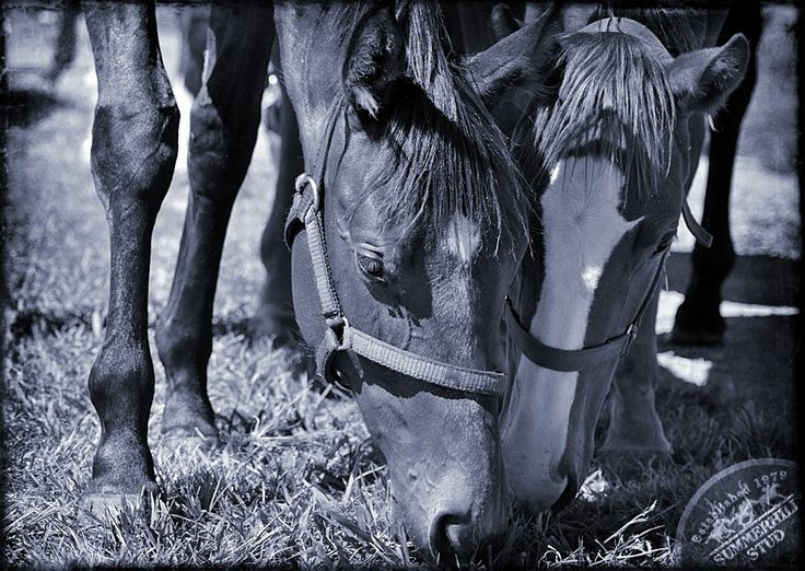 Yearlings at Summerhill www.summerhill.co.za  #Thoroughbreds #Horses