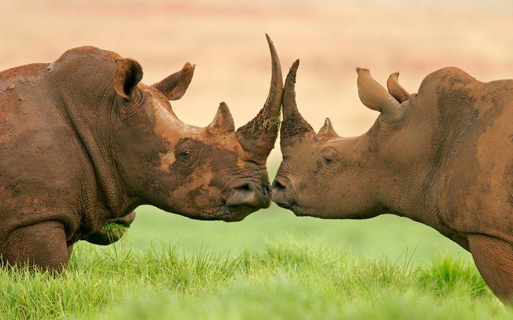 A world-wide call to action by youth conservation ambassadors: 21 – 23 September 2014, Hluhluwe-iMfolozi Game Reserve, KwaZulu-Natal, South Africa #RhinoSummit2014 #nature #wildlife #rhino