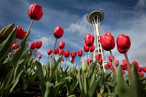 Seattle Tulip festival at the end of March.