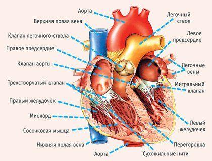 Если хотите иметь здоровое сердце, отрегулируйте работу органов пищеварения