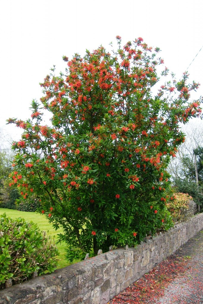 Plant the Chilean firebush in the right place and it will reward you with this fiery, impactful display in late spring - smokin'!