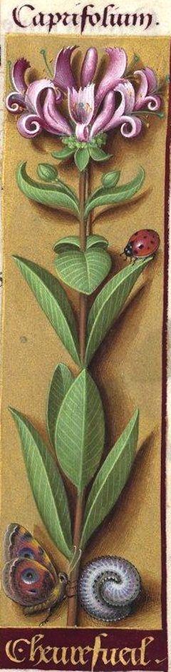 Chevrefueil - Caprifolium (Lonicera etrusca Santi = chèvrefeuille d'Étrurie) -- Grandes Heures d'Anne de Bretagne, BNF, Ms Latin 9474, 1503-1508, f°78r