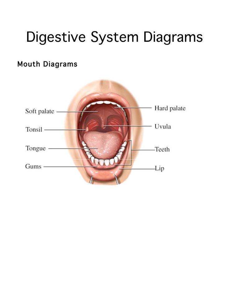 Human Mouth Diagram