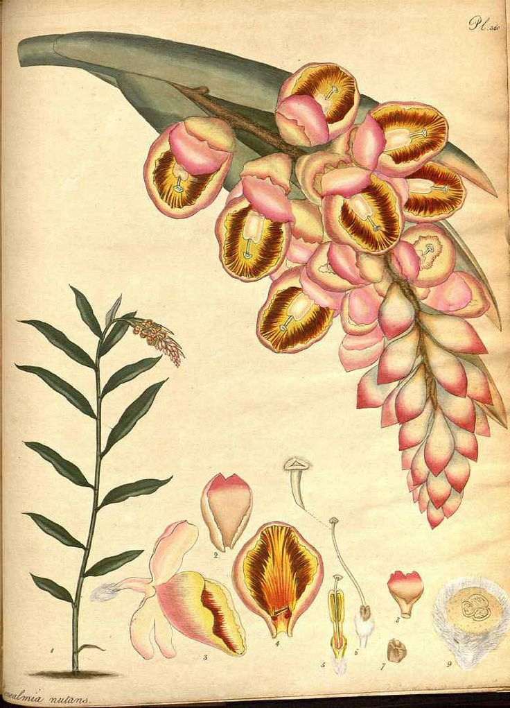 月桃(ゲットウ) ショウガ科 Alpinia zerumbet (shell plant, shell ginger), Andrews, The botanist's repository, vol. 5 (1803-1804)