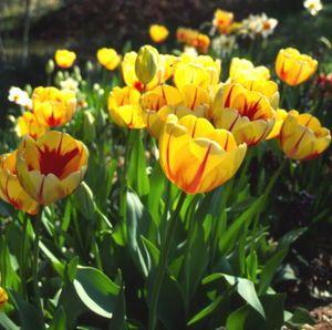 Tulipa - Burning Heart - Tulip Bulbs for sale