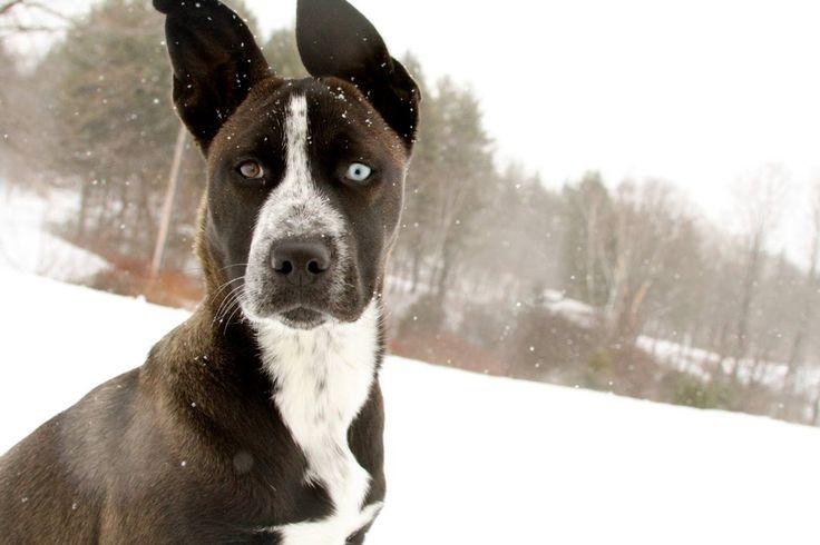 Husky pitbull mix