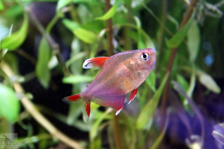 1000 images about fr h at r fi h finatic on pinterest for Freshwater community fish