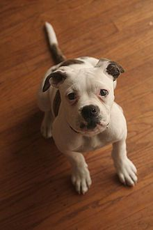 American Bulldog....looks kinda like brusque when he was a puppy!