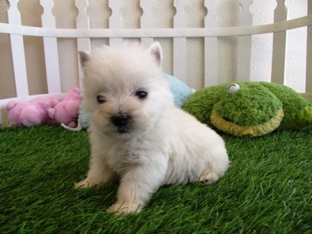 Baby westies for sale