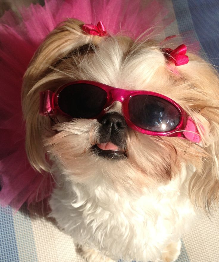 And this is why I didn't get a female shih tzu because she would probably have 10 pairs of sunglasses! So cute!!