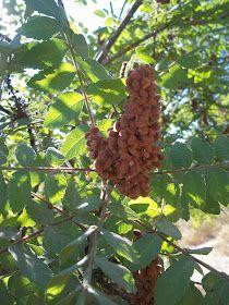 Foraging Sumac- Edible Wild Plant