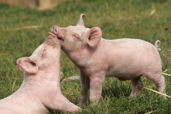 PIGLETS :): Baby Piggy, Pet, The Farms,  Pigs,  Grunter, Animal Track,  Squealer, Farms Sanctuary, Furry Friends
