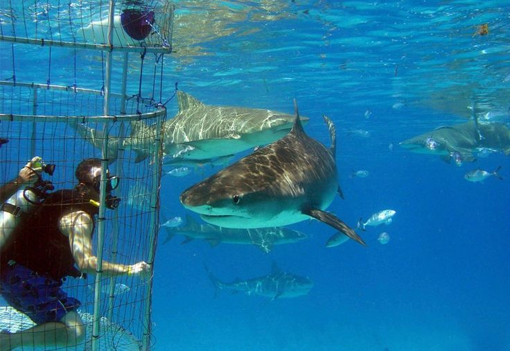 White Shark Cage Diving On Guadalupe Island
