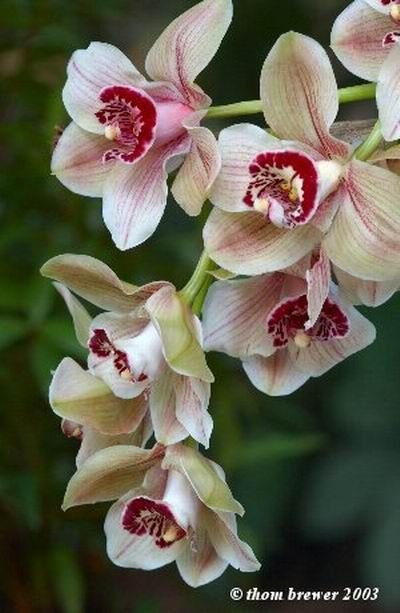 """Cymbidium Mouchette""    