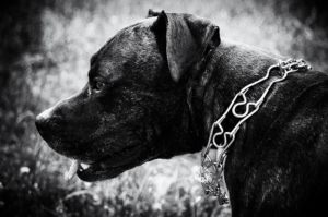 Dog Trainer Hopes To Ban Prong Choke & Shock Collars In Her City