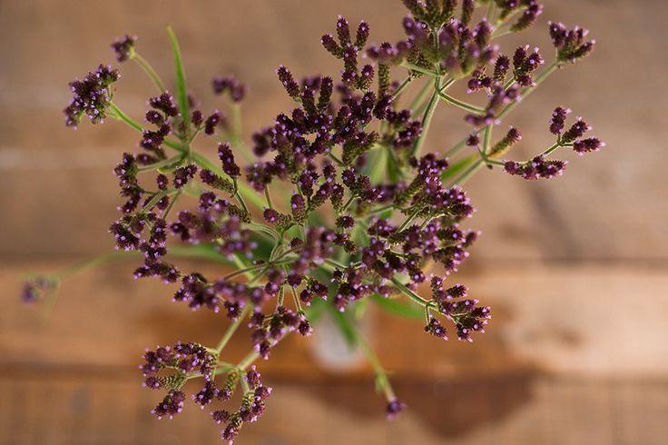 VERBENA BONARIENSIS - Pinetree Garden Seeds - Flowers