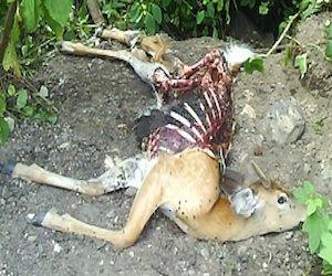 carcass animal - Hledat Googlem